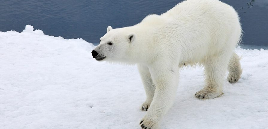 polar_bear_water_snow
